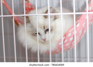 beautiful purebred ragdoll cat in the cage