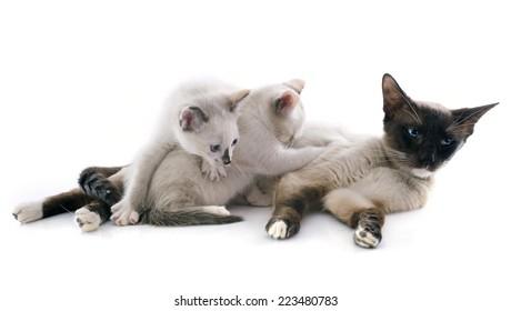 beautiful purebred siamese cat and her kitten