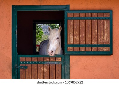 Beautiful purebred white horse looking over the stable door.