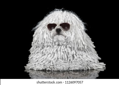 Beautiful purebred white puli dog portrait with sunglasses of black background