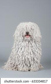 Beautiful purebred white puli dog portrait of gray background