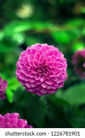The beautiful purle colored dahlia covered with water droplets