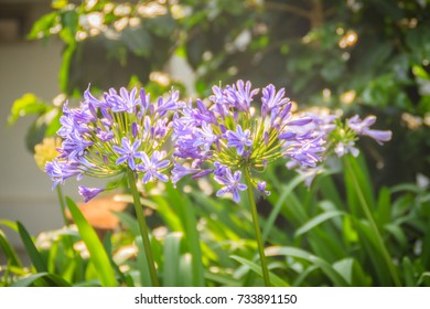 Beautiful purple Agapanthus africanus flower (African lily or lily of the Nile), a flowering plant from the genus Agapanthus native to the area of Cape of Good Hope in South Africa. - Shutterstock ID 733891150