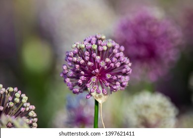 Beautiful Purple Allium flower with green natural background. Perfect image for: pink alliums flowers, close up head detail, allium isolated with blurred background, florist and gardening, etc.