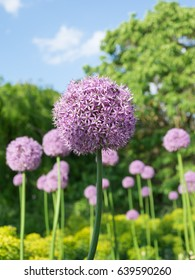 Allium images stock photos vectors shutterstock beautiful purple allium flower with green natural background perfect image for pink alliums flowers mightylinksfo Image collections