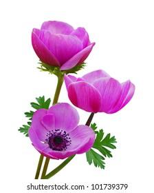 Beautiful purple anemone flowers on white background