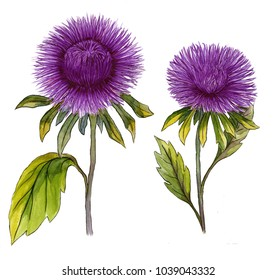Beautiful purple aster flower on a stem with green leaves. Set of two flowers isolated on white background. Watercolor painting. Hand drawn illustration.
