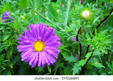 Beautiful purple asters as a background image.