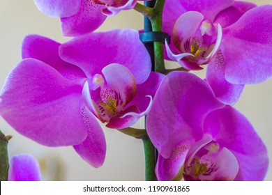 beautiful purple blooming orchid flower macro close up botanical background