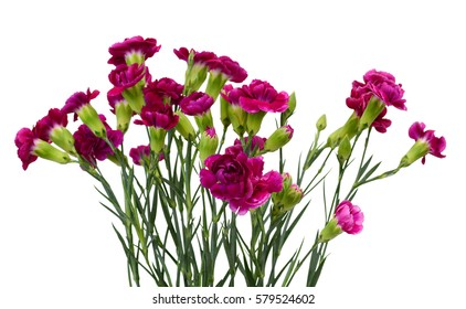 beautiful purple carnation flowers isolated on white background