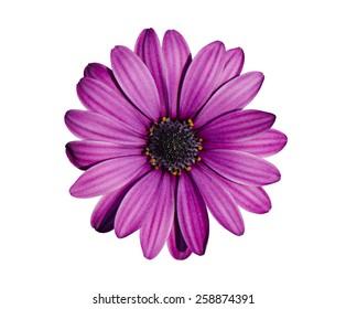 Beautiful purple chrysanthemum flower isolated on white background.