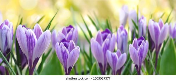 beautiful purple crocus blooming in a garden in panoramic size