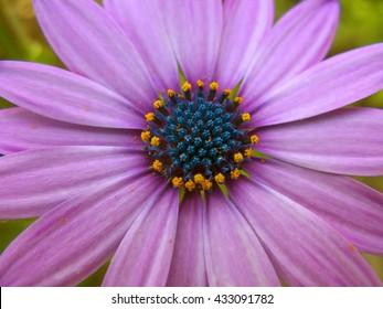 Beautiful purple daisy in a close up