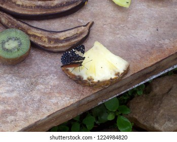 Beautiful Purple Emperor (Apatura iris) butterfly feeding on a piece of pineapple on a table next to a banana and kiwi fruit.
