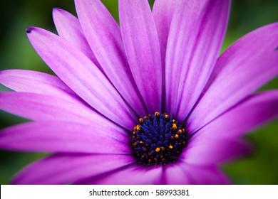 Beautiful 'purple fanfare' flower in a meadow.