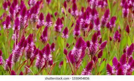 Beautiful purple feather cockscomb flowers blossom in the field. Feather cockscomb flower is know as Celosia, a small genus of edible and ornamental plants.