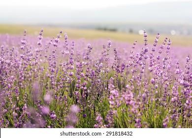 Beautiful purple fields of lavender flowers,Crimea