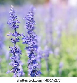 Beautiful purple flower in the garden, springtime background