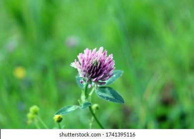 Schöne violette Blume isoliert auf grünem Hintergrund