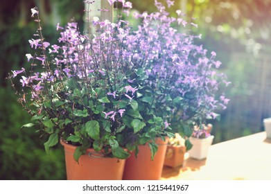 Beautiful purple flower in pot.