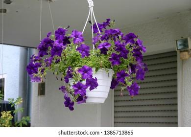 Beautiful purple flower pot hangs on the top