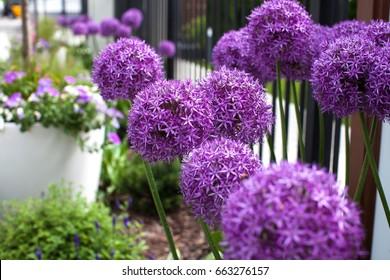 Beautiful purple flowers Allium giganteum, cultivar Globemaster.
