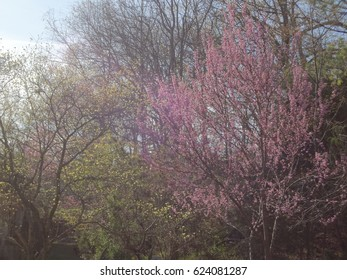 Beautiful purple flowers blossoming among treetops during a sunny day. East Tennessee, USA.