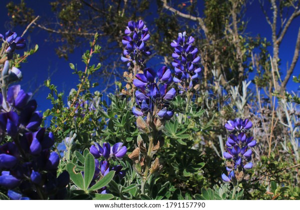 A beautiful purple flowers commonly found in the Andes of Ecuador around Quito