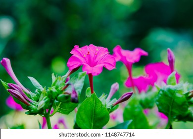 Beautiful purple flowers of Mirabilis jalapa or The Four o' Clock in summer garden