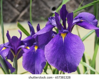 "Beautiful purple flowers of ""Iris"" in summer"