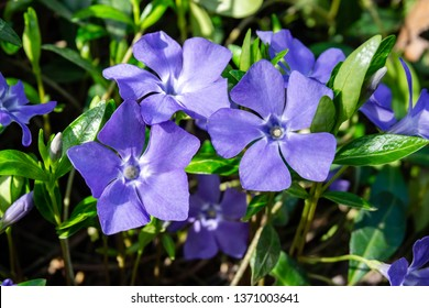 Beautiful purple flowers of vinca on background of green leaves. Vinca minor (small periwinkle, small periwinkle, ordinary periwinkle) as decoration of  garden. Close-up. Concept of nature for design.