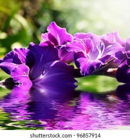 Beautiful purple gladioli in the summer