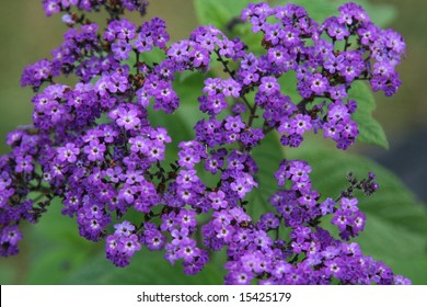 beautiful purple grouping of flowers called heliotropes
