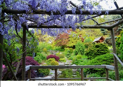 Beautiful purple hanging wisteria frames a view in a Japanese garden in Springtime.  Focus on the wooden bridge in background.