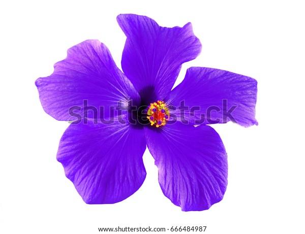 Beautiful Purple Hibiscus Flower Green Leaves Stock Photo Edit Now
