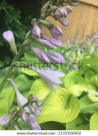 Beautiful Purple Hosta Plants Backyard Garden Stock Photo Edit Now