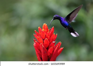 Beautiful purple hummingbird feeding nectar from flower