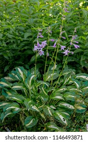 Beautiful purple inflorescence of Hosta in summer garden. Hosta commonly known as hostas, plantain lilies and occasionally by the Japanese name giboshi. Selective focus.