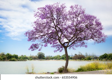 A beautiful purple Jacaranda tree flowering along a lake.