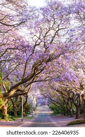 Beautiful purple jacaranda trees blooming during October in Pretoria, South Africa's capital city