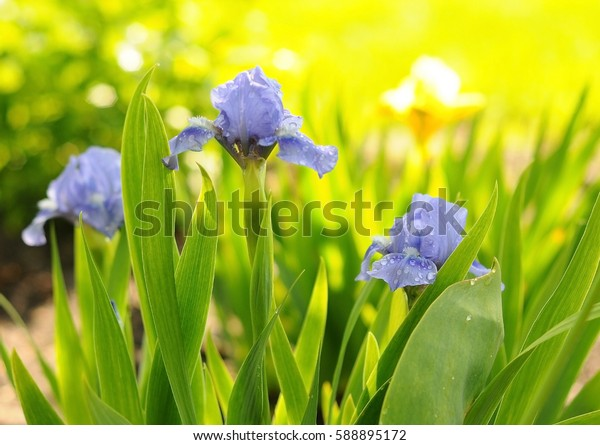 Beautiful purple Japanese iris flowers blooming in the garden at sunny day on natural green background. Purple flower de luce close up. Beautiful iris blossom. Blooming summer garden or front yard.