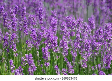 beautiful purple lavender