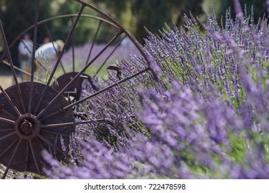Beautiful purple lavender blossom of Lavender Festival of 123 Farm at San Bernardino, Los Angeles County, United States