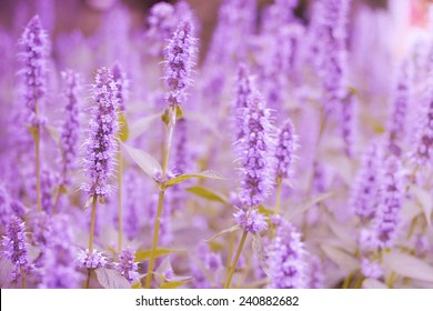 beautiful purple lavender field for background