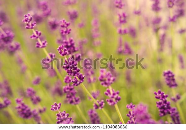 Beautiful purple lavender flower close up detail