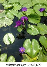 Beautiful purple leaf and yellow pollen lotus flower green leaf