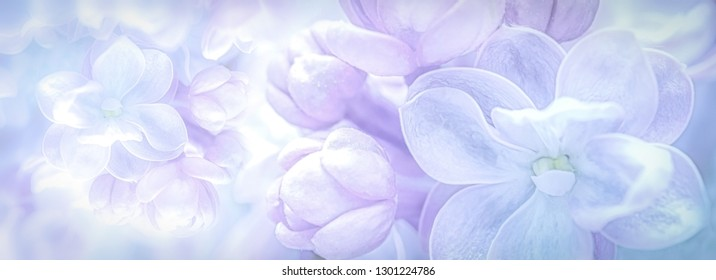 Beautiful purple lilac flowers blossom branch panorama background. Soft focus. Greeting gift card template. Pastel toned image. Nature abstract. Copy space.