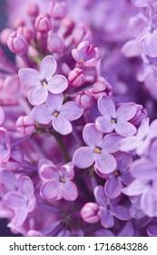 Beautiful purple lilac flowers. Closeup of common Lilac (Syringa vulgaris).