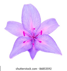 Beautiful Purple Lily Isolated on White Background