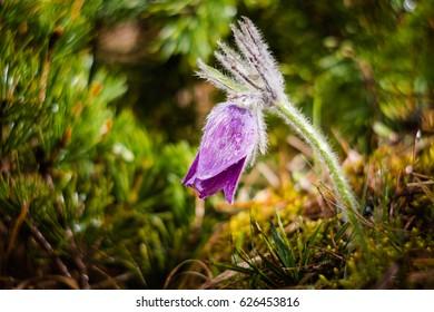 Beautiful purple little furry pasque flower. (Pulsatilla slavica)